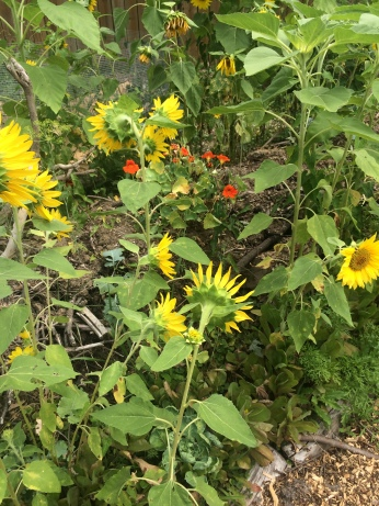 sunflowers and nasturtium spring 2016