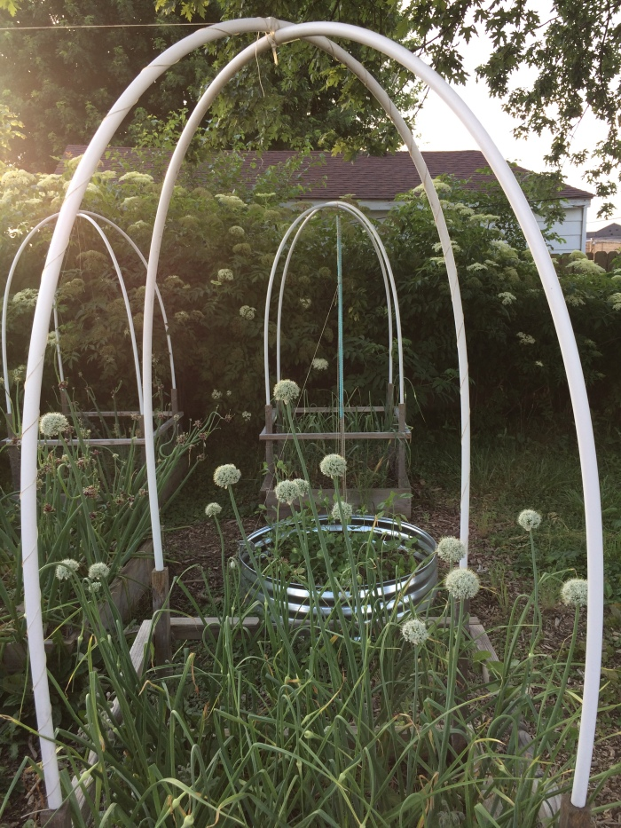 arched pvc arbor/raised beds with onion flower blossoms. elderberry blossoms in backround spring 2017